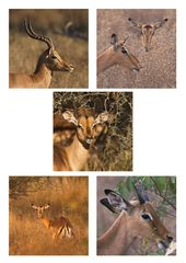 Impala Impressions