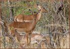 Impala, mais pas de chevrolet....arche, mais pas de triomphe!