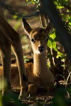 Impala young hiding