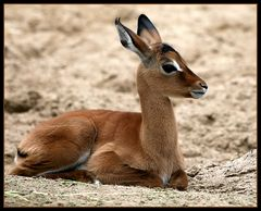 Impalanachwuchs