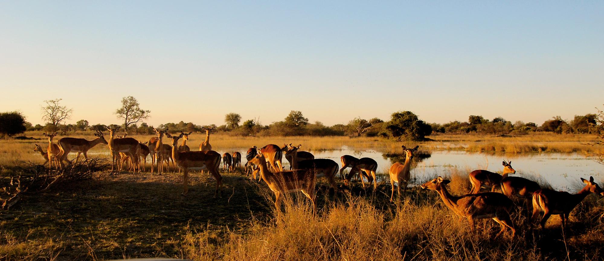 Impalas im Moremi Nationalpark