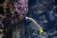 Imperator Kaiserfisch