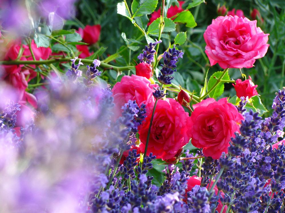 Lieblings Impression von Rosen und Lavendel Foto & Bild | pflanzen, pilze #TU_81