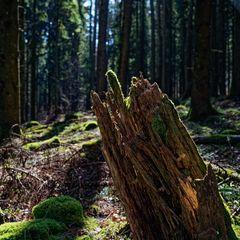 Impressionen im Fichtenwald