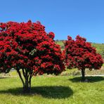 In blossom (Pohutukawa, der Weihnachtsbaum der Kiwis)