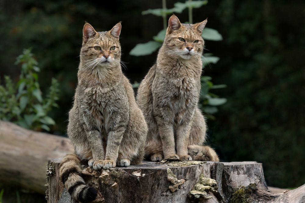 In D wieder heimisch: Europäische Wildkatze