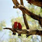 ... in den Flinders beobachtet (2) (Nähe Wilpena Pound)