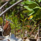 In den Mangroven von Bonair