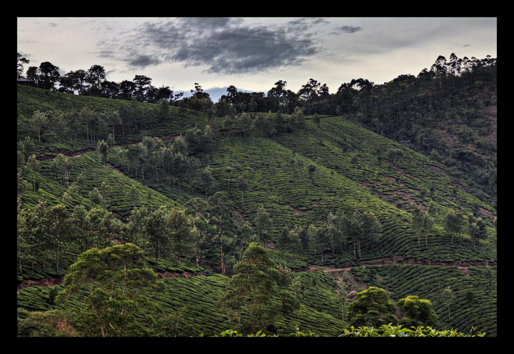 In den Teeplantagen bei Munnar