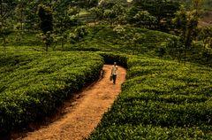 In den Teeplantagen.                      .DSC_8207