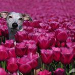 In den Tulpen