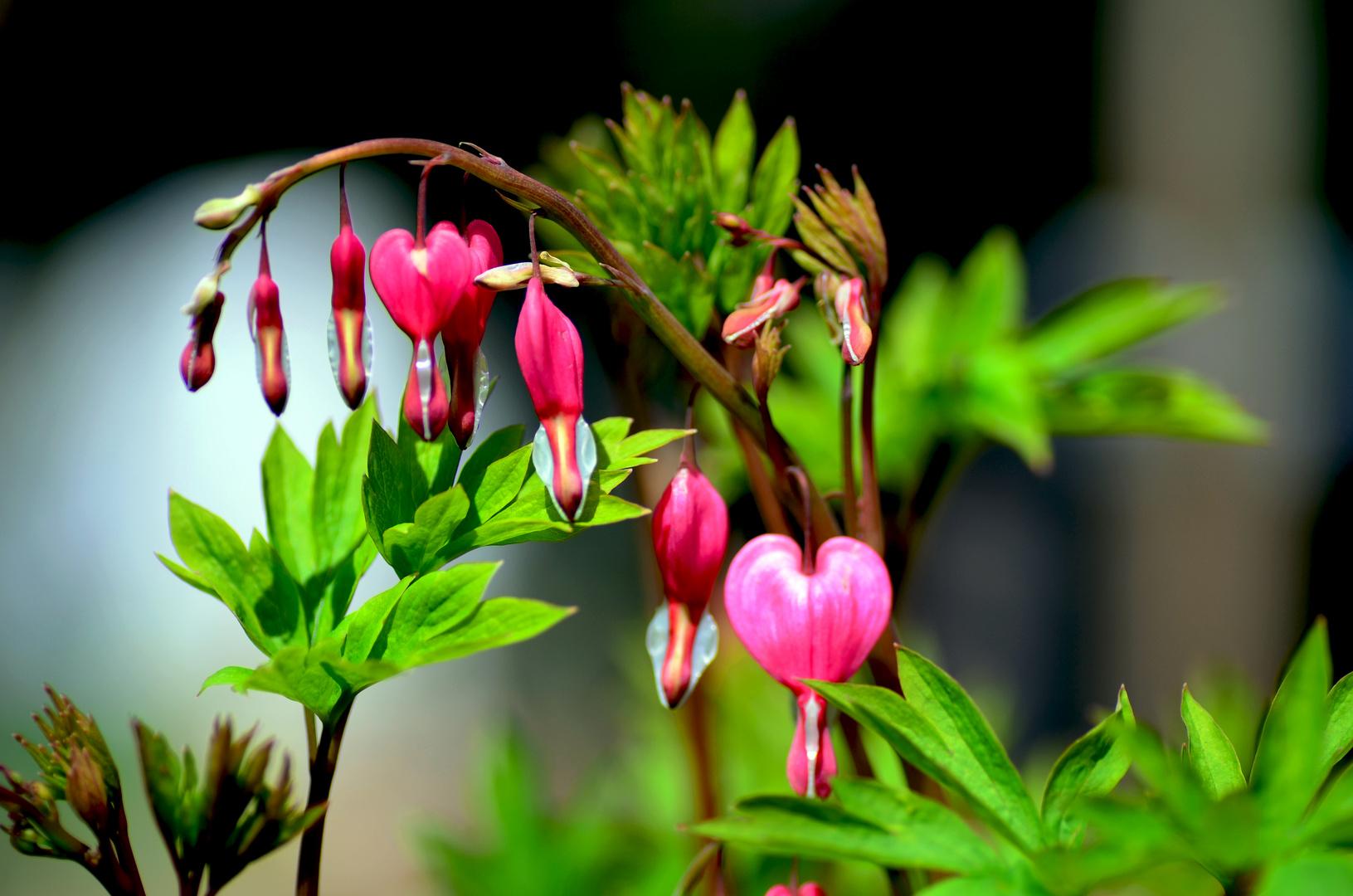 in der Blüte