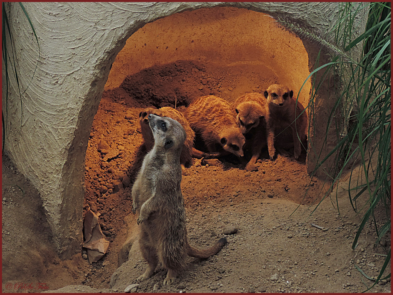 Erdmännchen Höhle