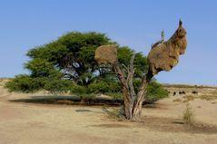 In der Kalahari-Wüste