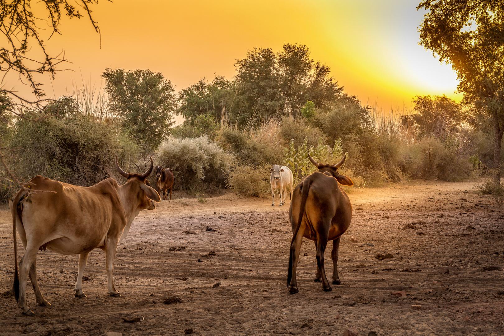 In der Thar-Wüste....