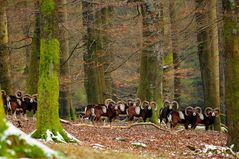 In der Winterdecke sehen die Muffelwidder besonders imposant aus