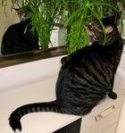 in jedem Raum steht Katzengras - aber nein - Zypern wünscht der Herr Kater