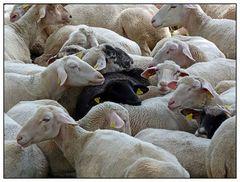 In jeder Herde ...