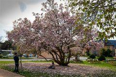 In Magnolienblüten