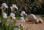 In meinem Garten - Iris