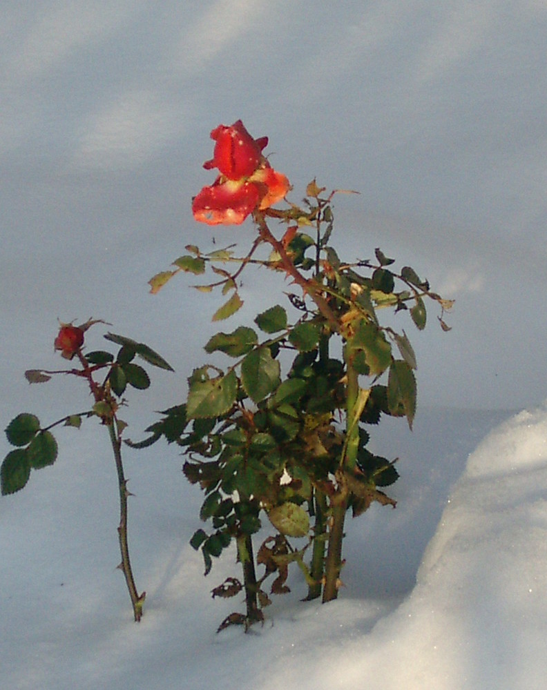 in memory for my loveley rabbit, rose in snow on the grave