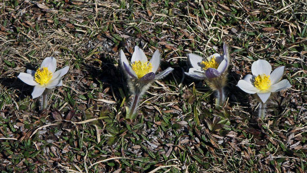 In Reih und Glied ,  haben  diese Alpenanemonen (Pulsatella alpina)  den Boden verlassen...