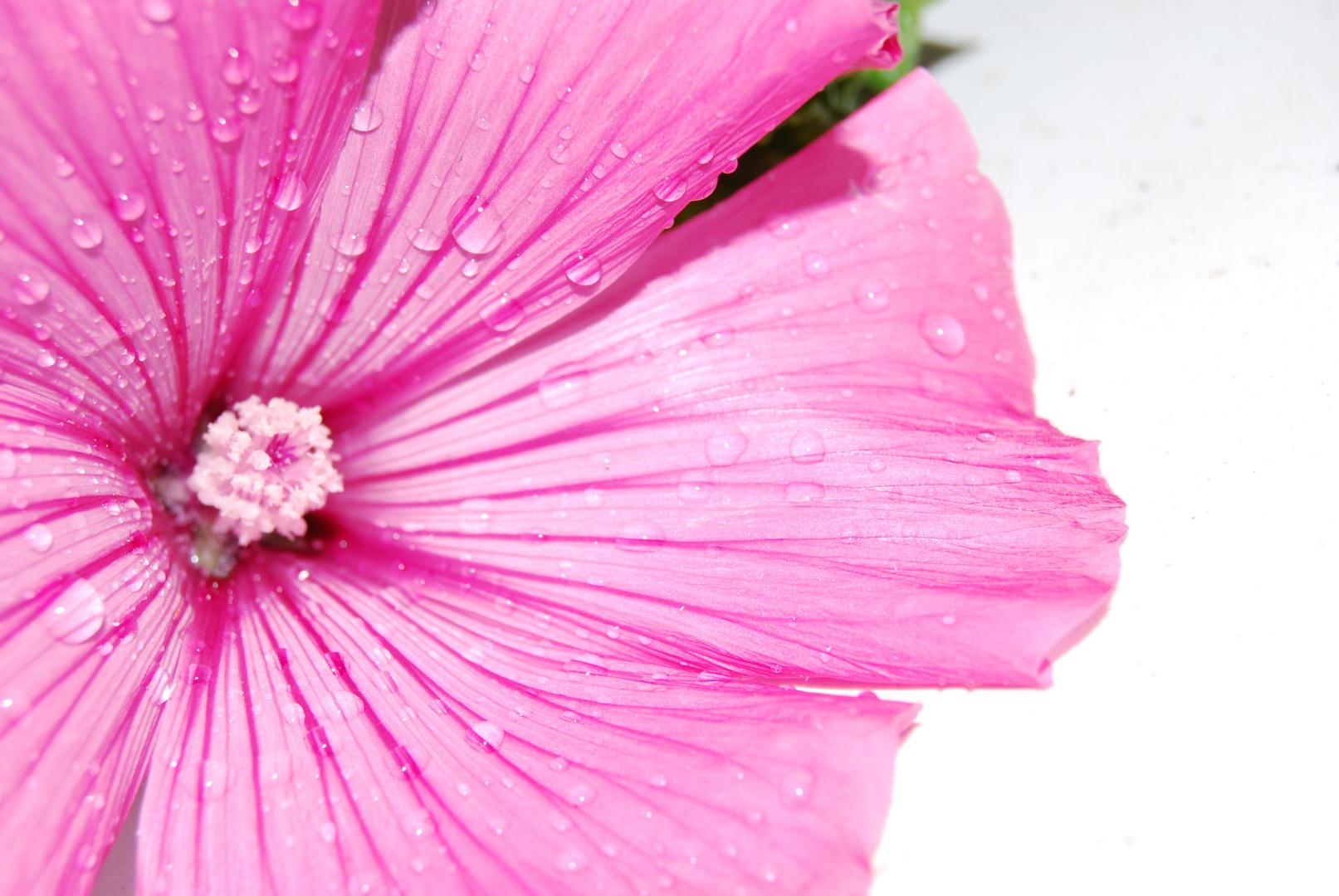 in rosa