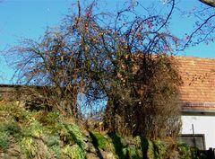 °°° In Sachsen reifen die Äppel sogar noch an den Bäumen °°°