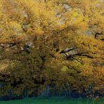in seiner ganzen Pracht zeigt sich der stolze Baum , bevor er sein winterliches Gewand trägt