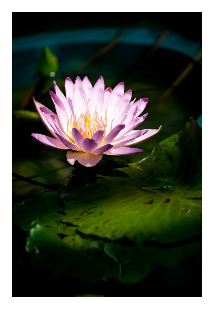 In The light [Water Lily]