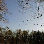 in V-Form fliegen sie über den Nymphenburger Kanal