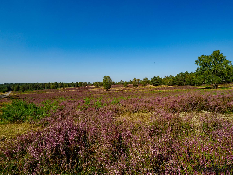 In volle Blüte - Fischbeker Heide