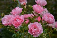 in zart rosè