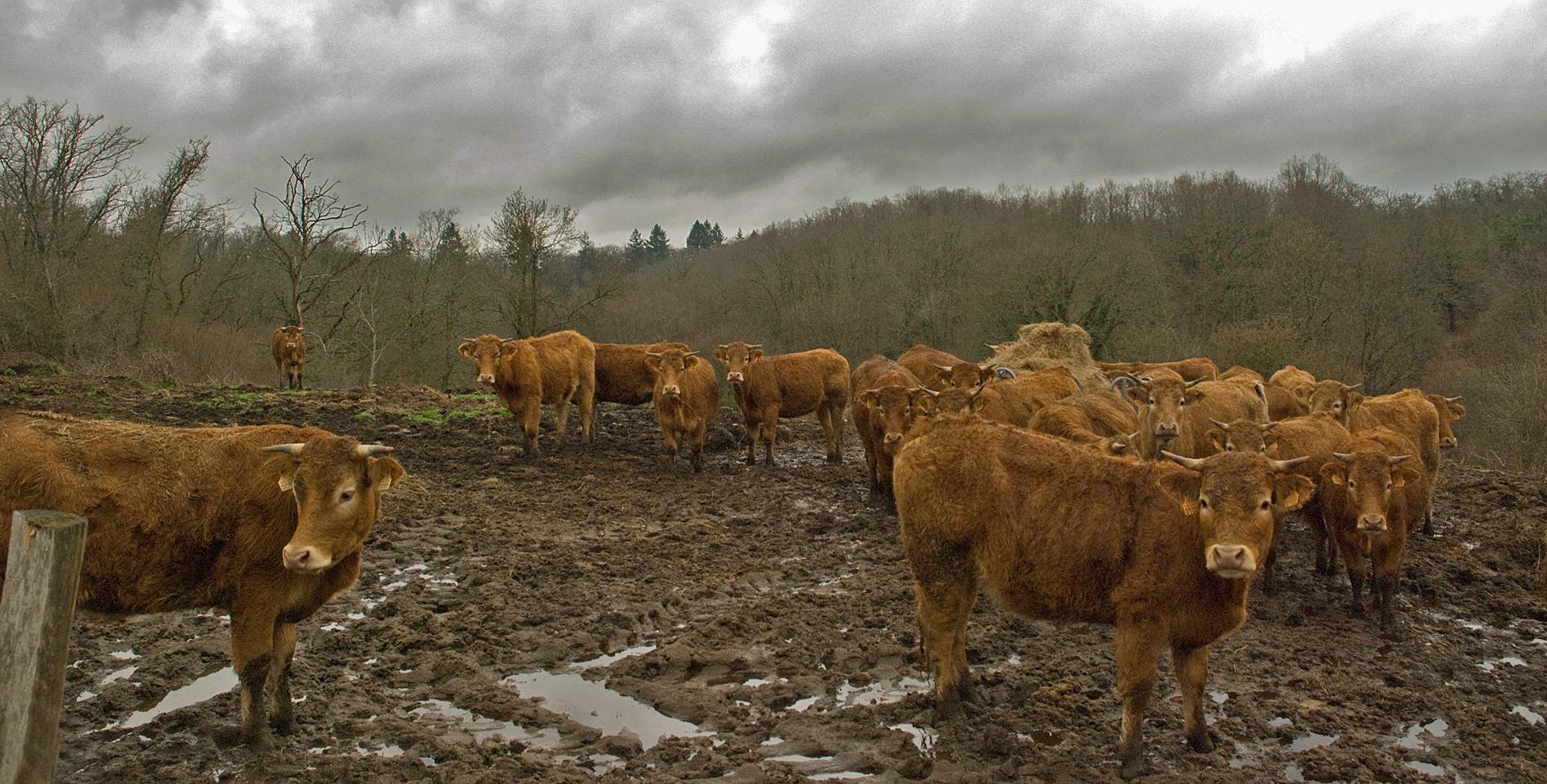 inconfort de l'élevage