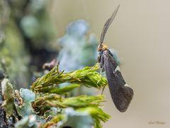 Incurvaria masculella