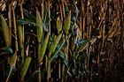 Indian Corn field