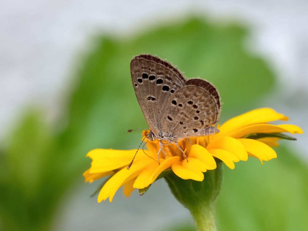 Indian Lesser Grass Blue