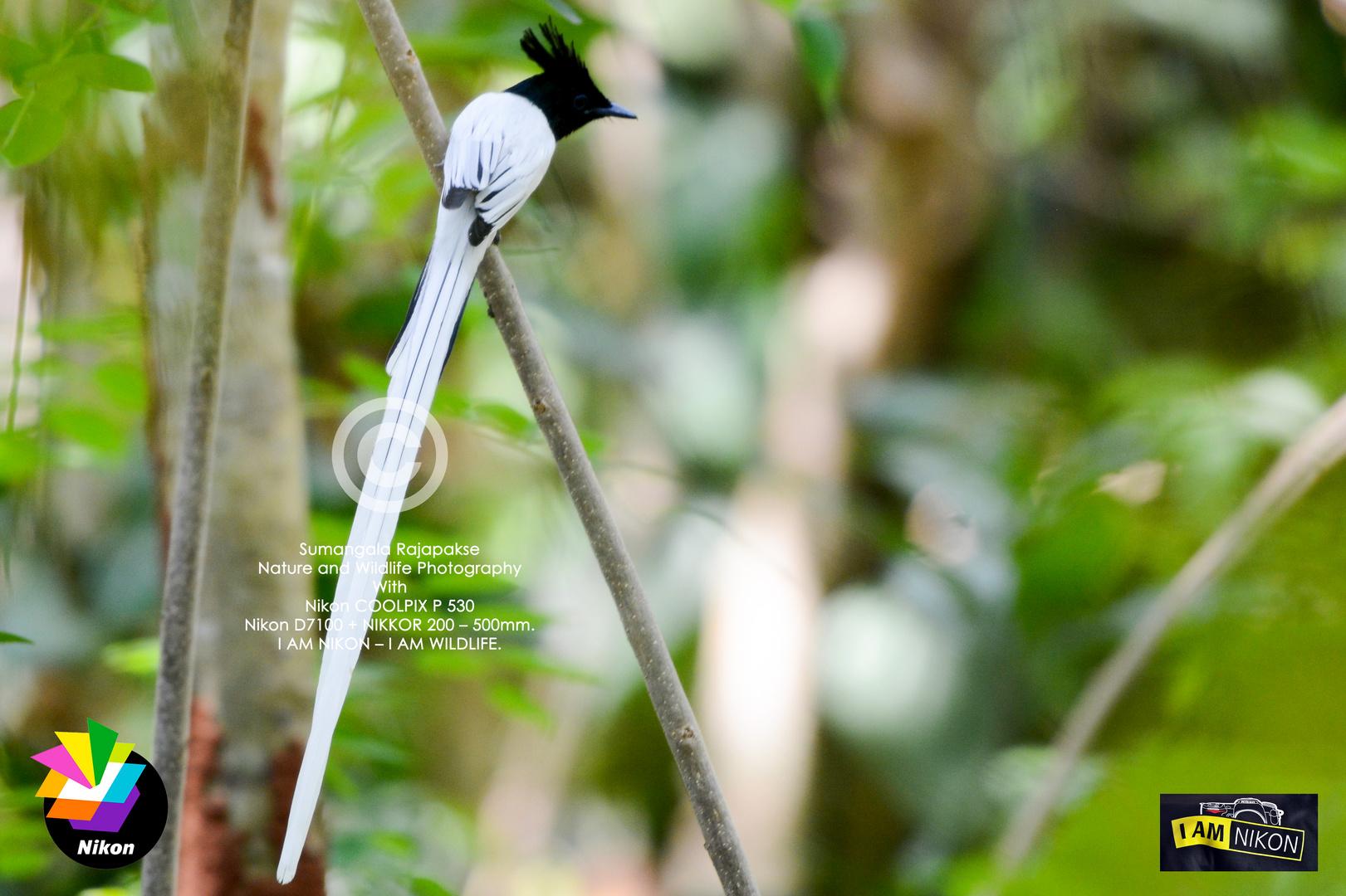 Indian Paradise-flycatcher ( Terpsiphone paradisi paradisi).