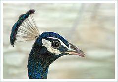 Indiens Nationalvogel