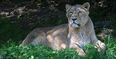 Indische Löwin