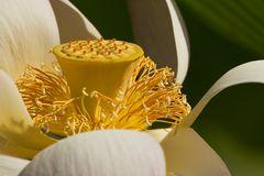 Indische Lotusblume