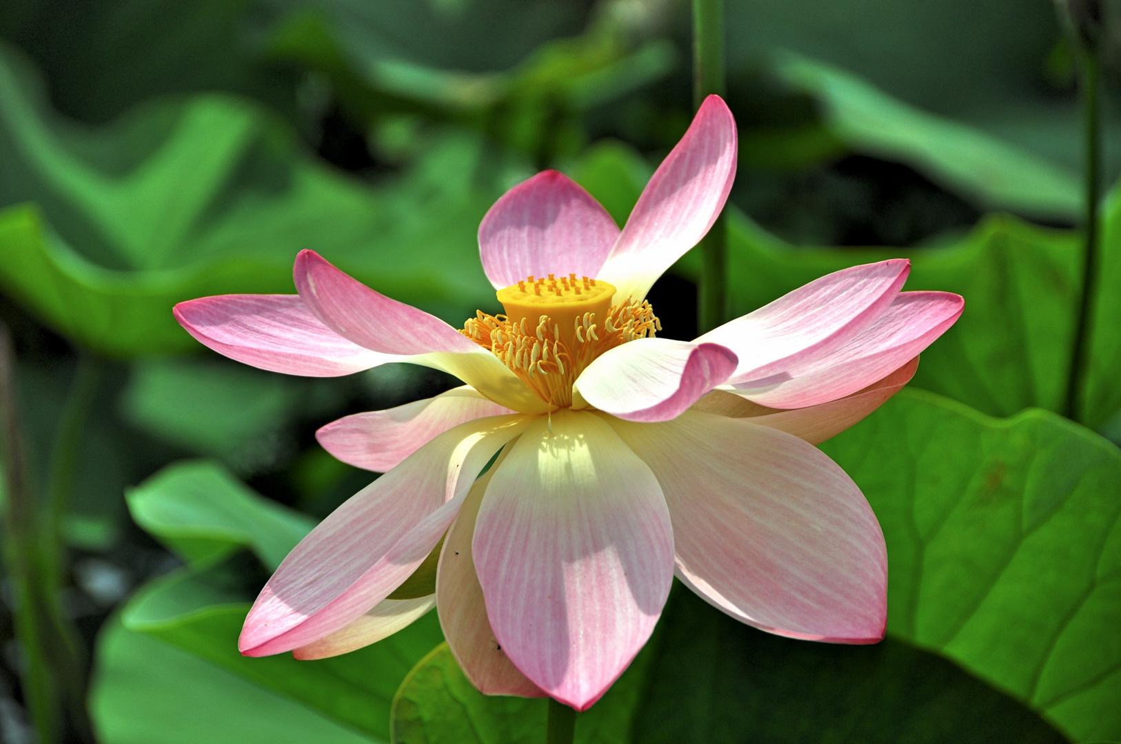 Indische Lotusblume (Nelumbo nucifera) im Arboretum Ellerhoop