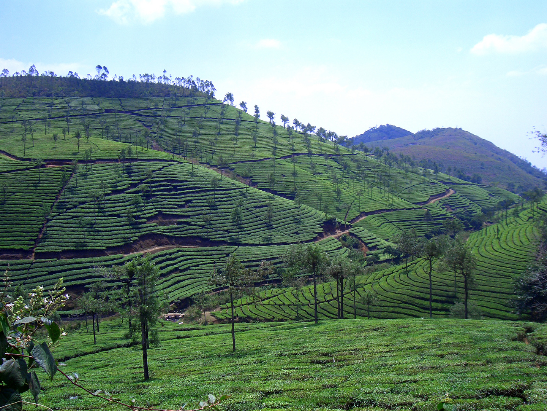 indische Teeplantagen 2007