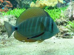 Indischer Segeldoktorfisch mit Putzerfisch 03