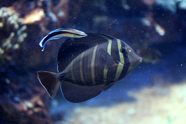 Indischer Segelflossen Doktorfisch