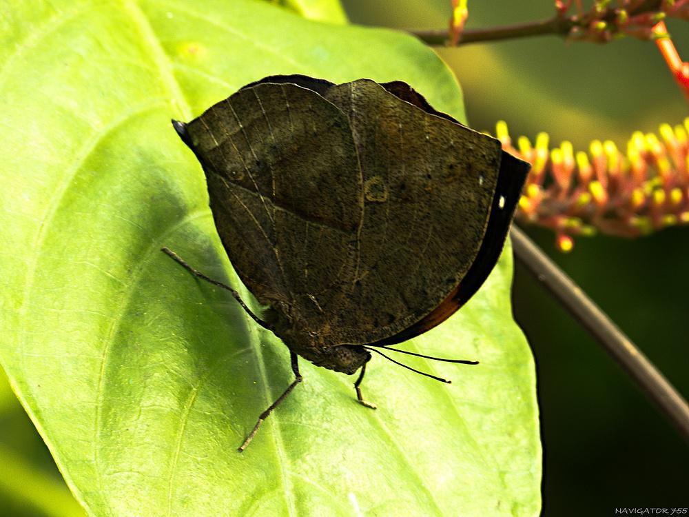 Indisches Blatt ( Kallima inachus )