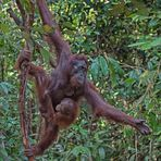 Indonesien [22] - Dschungeltaxi