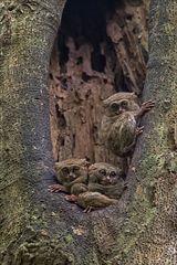 Indonesien [3] - Koboldmakis