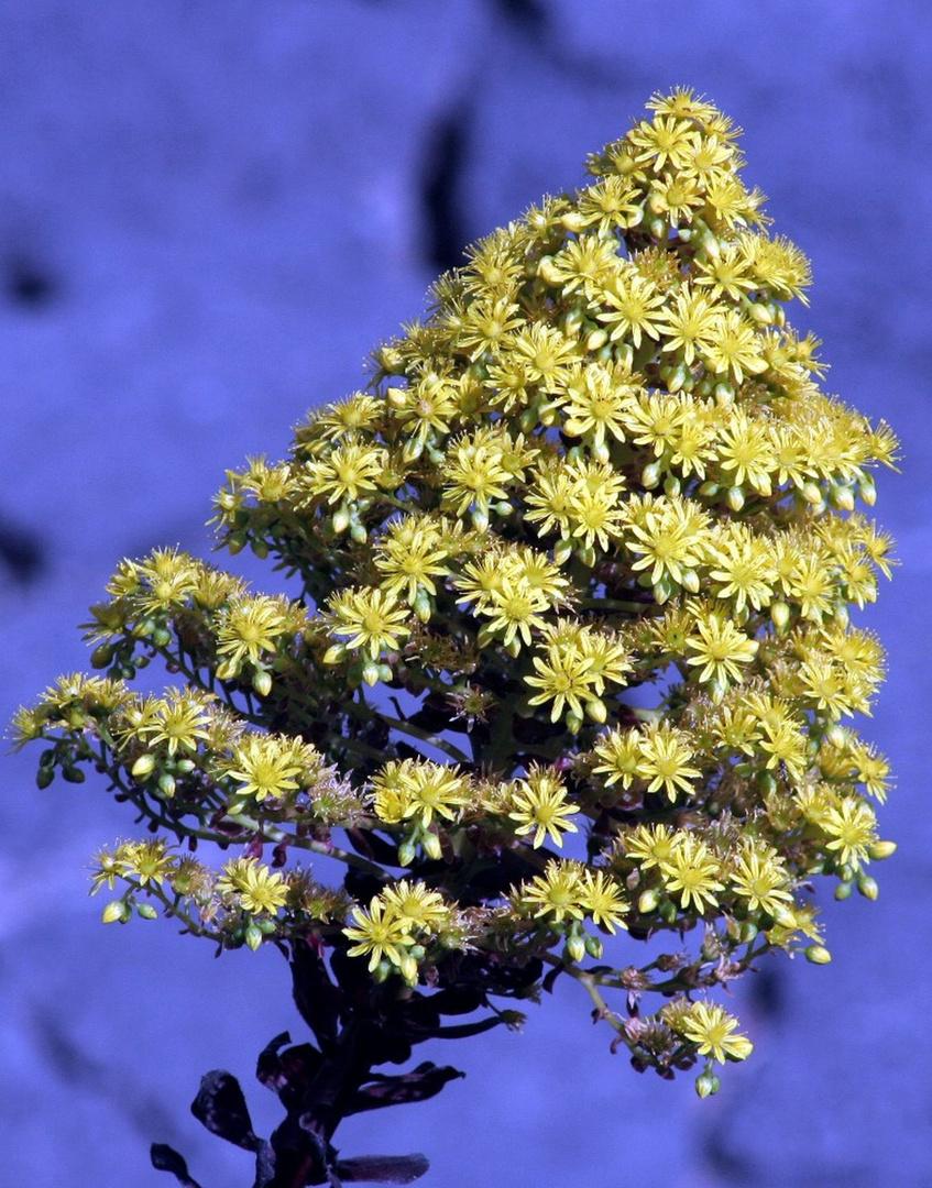 Inflorescence dorée