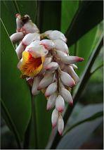Ingwer-Blüte
